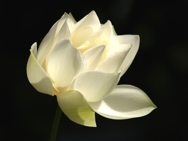 white lotus, Beautiful flower