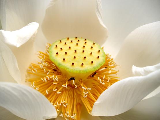 http://www.buddhistelibrary.org/library/asst/img/12white-heart-lotus.jpg