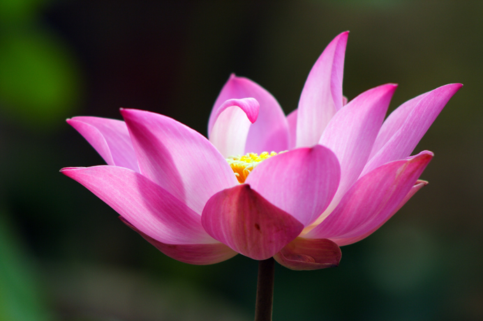 buddhist elibrary   pink lotus, Natural flower